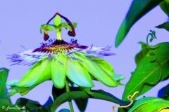 Fleur de la passion effet 1