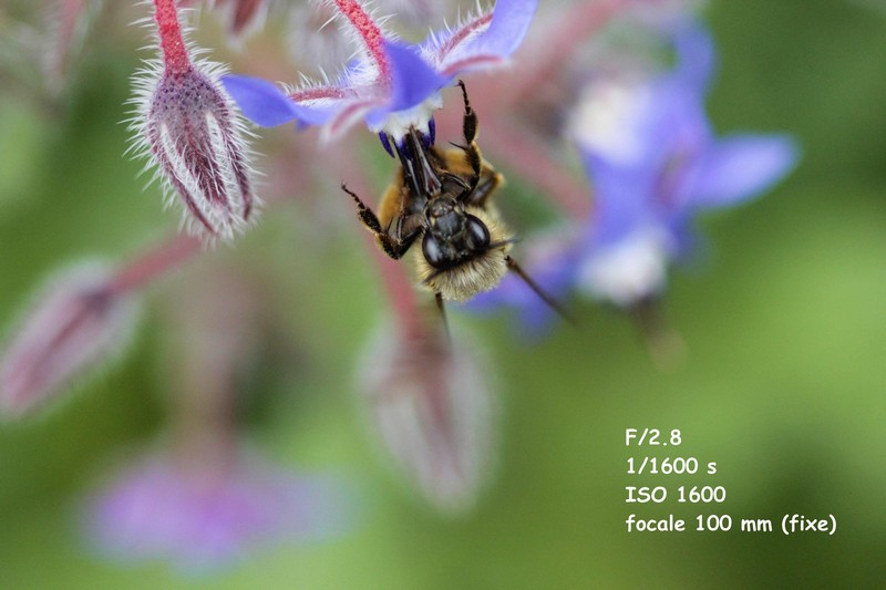 abeille (3)