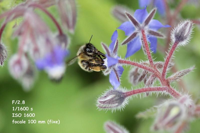 abeille (4)