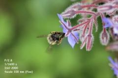 abeille (1)