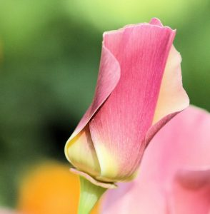 Escholtzia rose