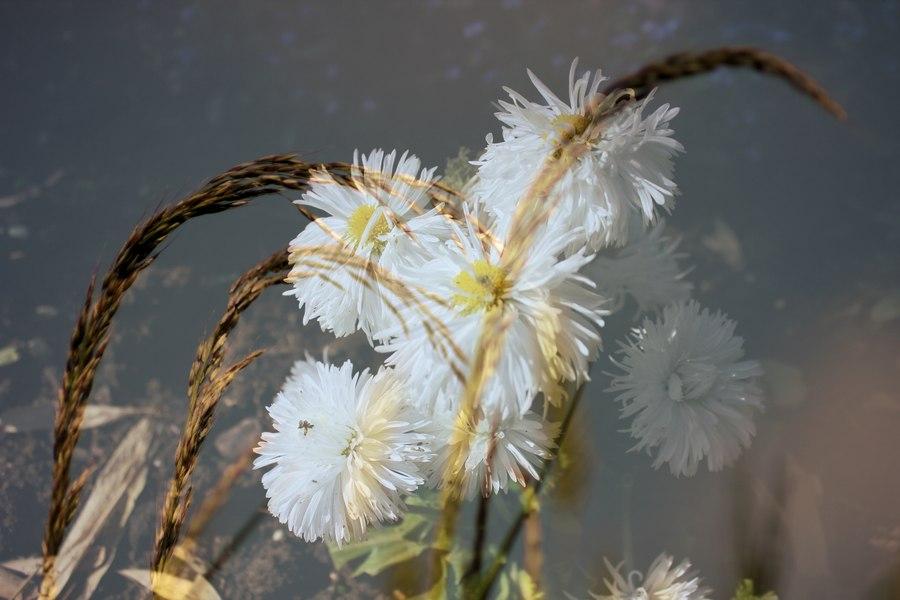 blé blanc