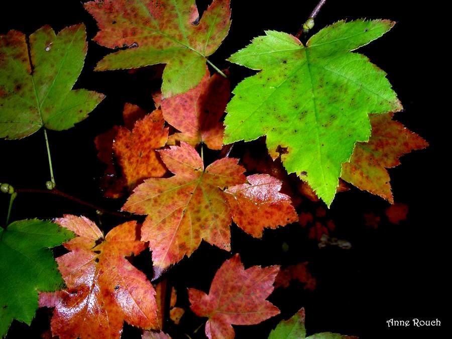 feuilles rges