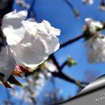 fleur prunus